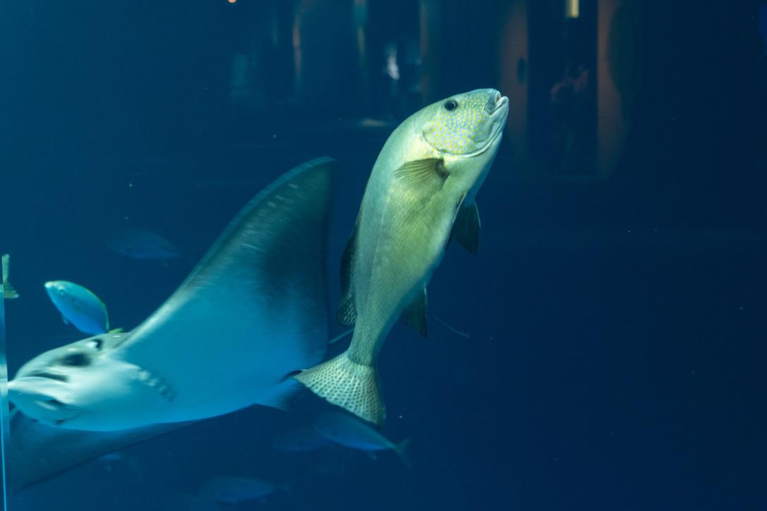 魚も考えことをしているのでしょうか。もう少しで、エイと衝突するところでした。